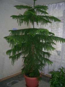 Уход за растением араукария