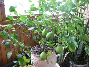 Температура для выращивания лимона