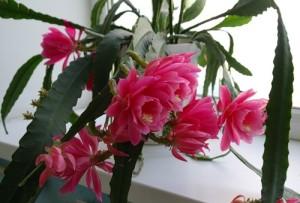 Какая должна быть влажность воздуха для кактуса эпифиллум