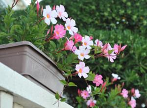 Уход за комнатным растение дипладения