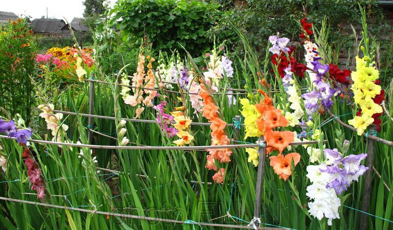 Гладиолусы выращивание и уход
