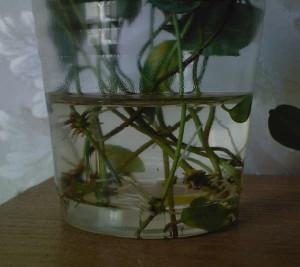 Размножение дипладении в домашних условиях