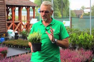 Вереск растение