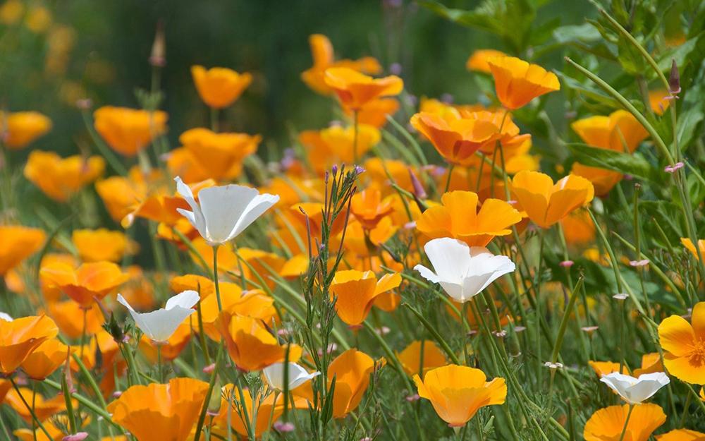 Фото цветов мака