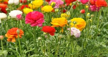 Лютики садовые посадка и уход