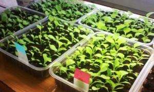 Выращивание из семян ибериса
