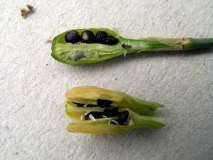 Размножение нарциссов семенами