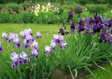 Мімоза квіти