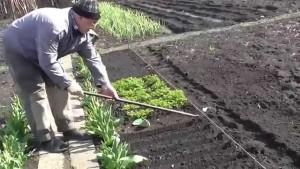 Садим семена астр