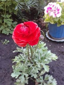 Цветы лютики