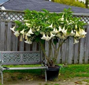 Где и как выращивать кустарник бругмансия