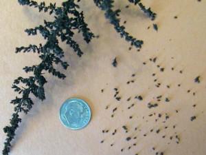 Семена астильбы