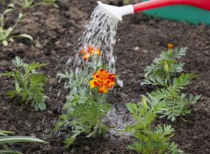Уход за цветущим цветами бархатцы