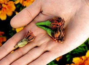Как собрать семена бархатцев