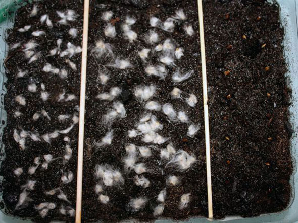 Анемона выращивание из семян когда сажать фото 33