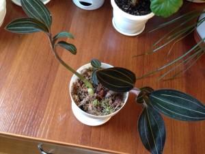 Уход за орхидеей лидизия