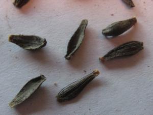 Выращивание гелениума из семян