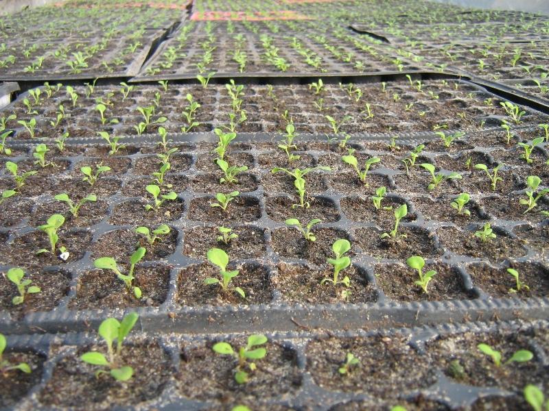 Выращивание рассады петуния в домашних условиях