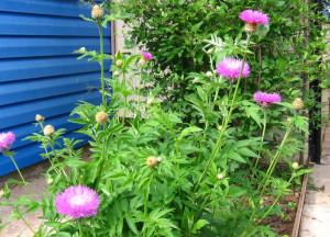 Выращивание васильков многолетних