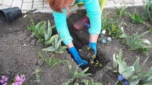 Посадка клематисов в открытом грунте