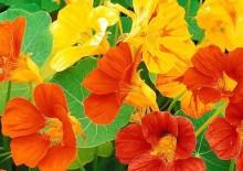 Настурция, фото цветов