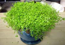 Cолейролия и фото растения
