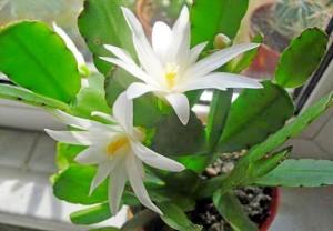 Выращивание рипсалидопсиса