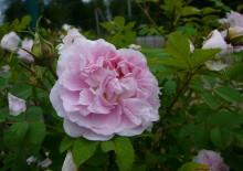 Розы Мартин Фробишер