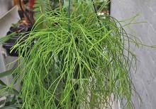 Рипсалис и фото комнатного растения