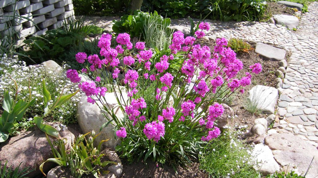 Цветы лихнис фото
