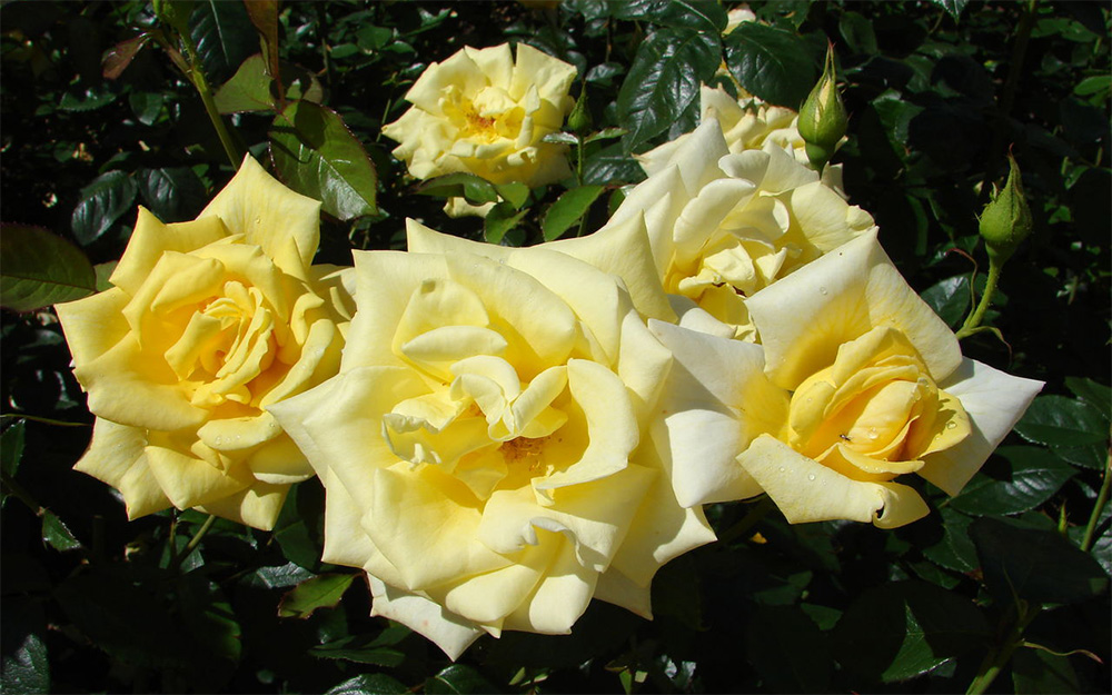 Розы Голден Медальон