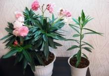 Олеандр и фото цветка