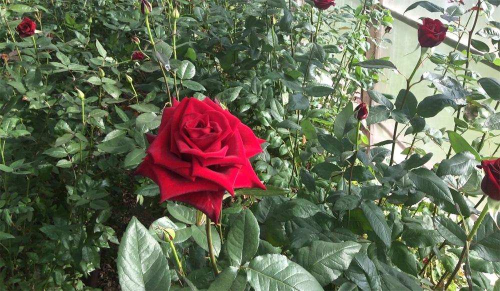 Розы сорта Черная магия