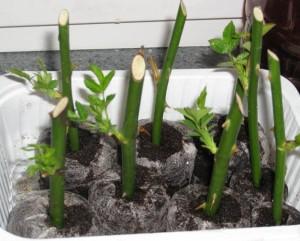 Способы размножения сорта роз Дабл Делайт