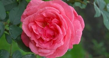 Роза Паризе Шарм