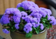 Васильки цветы