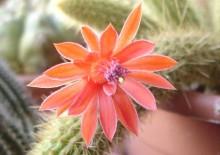 Клейстокактус фото кактуса