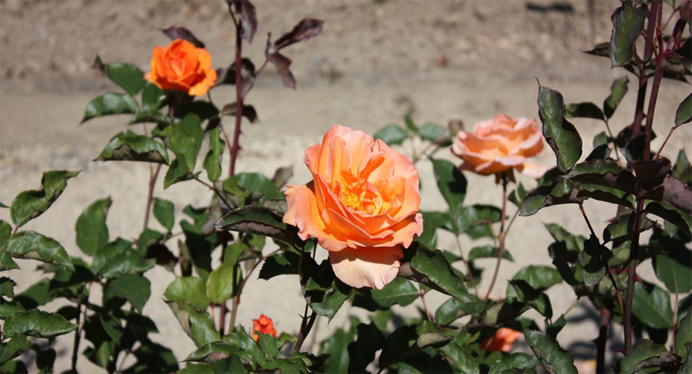 Куст розы Дорис Тистерман