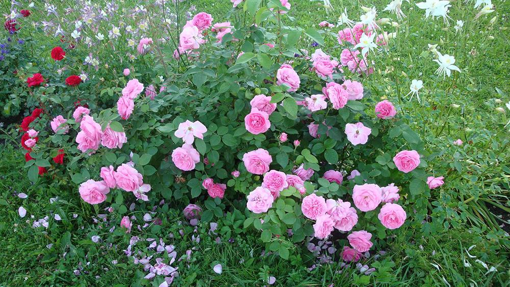 Розы Луис Одьер в саду