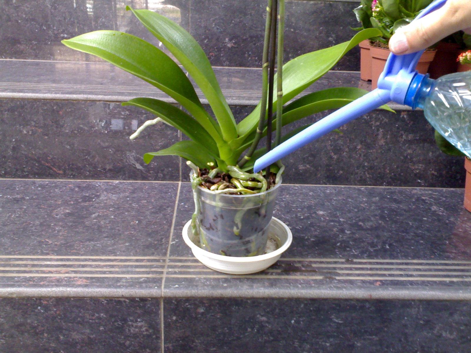 Полив орхидеи в домашних условиях во время цветения