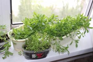 Выращивание рассады кларкия