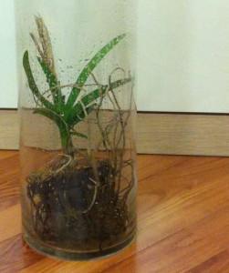 Наращиваем корни у орхидеи