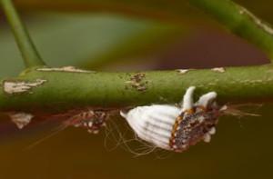 Вредители на растении полисциас