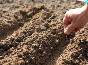 Посадка семян диморфотеки в открытый грунт