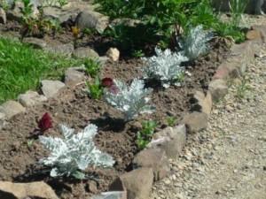 Посадка растения цинерария