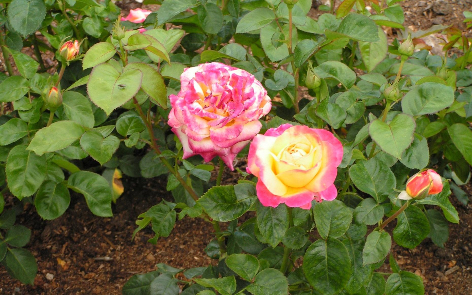 Розы Пульман Ориент Экспресс