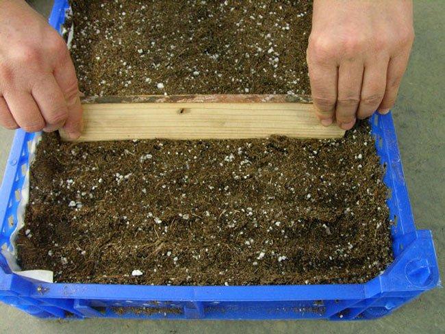 Незабудка выращивание из семян когда сажать