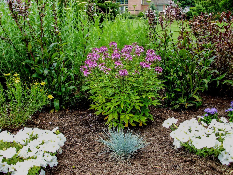 Клеома в саду
