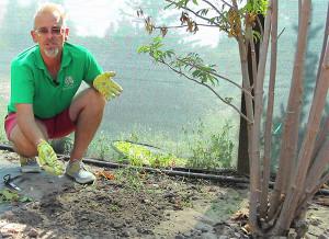 Уход за растением алиссум