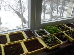 Выращивание лихниса из семян